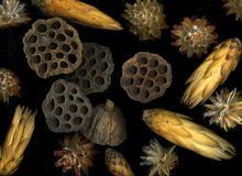 Lotus pods and seeds Stock Image