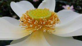 Lotus pollen Arkivfoton