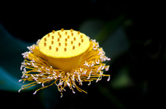Lotus pollen. Stock Photos