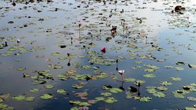 Lotus Pond photographie stock libre de droits