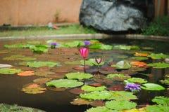 Lotus Pond foto de stock royalty free