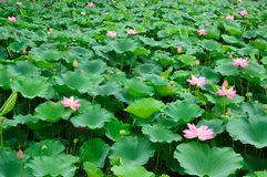 Lotus pond 2 stock photography