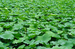 Lotus Pond. A pond planting many lotus Royalty Free Stock Photo