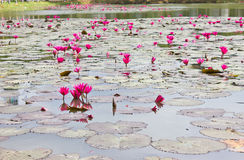 Lotus pond. Purple lotus are blooming in the pond royalty free stock images