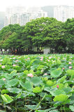 Lotus pond Royalty Free Stock Image