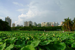 Lotus pond. In a park in china Royalty Free Stock Photo