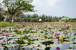 Lotus pond. The best of Lotus pond Stock Images