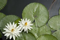 Lotus Pond Fotos de Stock