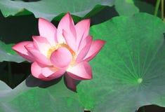 Lotus Pond Foto de archivo