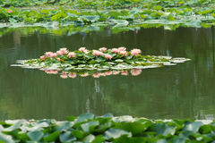 Lotus Pond Foto de Stock Royalty Free