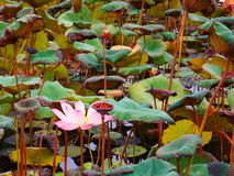 Lotus Pond Stockbilder