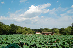 Lotus pond. A lotus pond full of lotus in a lovely summer day Stock Photos