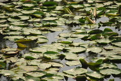 Lotus Pond Lizenzfreie Stockbilder