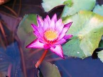 Lotus Pond Stockbilder