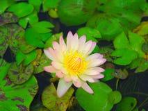 Lotus Pond Lizenzfreies Stockfoto