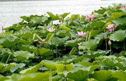 Lotus in the pond. Royalty Free Stock Photos