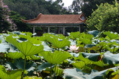 Lotus Pond Fotografia de Stock Royalty Free