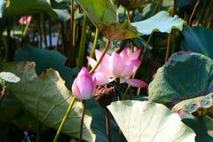 Lotus Pond Fotografia de Stock Royalty Free