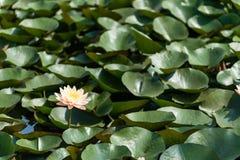 Lotus Pond fotografie stock libere da diritti