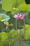 Lotus Pond. A lotus flower blooms in a lotus pond Stock Photography