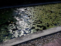 Lotus Pond Image stock