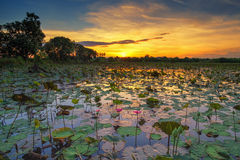 Lotus Pond Photos stock