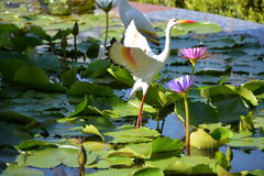 Lotus Pond Stock Foto's