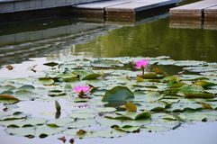 Lotus Pond Imagem de Stock