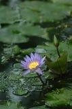 Lotus Pond Photo stock