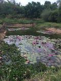 Lotus Pond Fotografia de Stock
