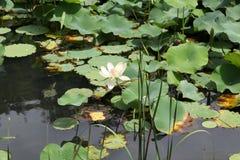 Lotus Pond Imagens de Stock Royalty Free