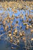 Lotus pond in autumn Royalty Free Stock Photo