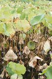 Lotus pond. At autumn,leaves withered Stock Photography