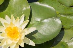 Lotus on the pond Royalty Free Stock Photos