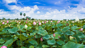 Lotus in a pond Stock Photos