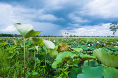 Lotus in a pond Royalty Free Stock Photography