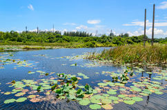 Lotus pond with the blue sky background Stock Photos