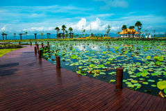 Lotus pond Royalty Free Stock Photo
