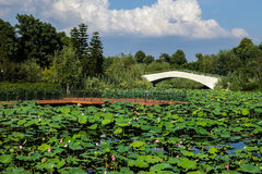 Lotus pond in Chinese garden. Summer lotus pond with a arch bridge in  Chinese garden Royalty Free Stock Image