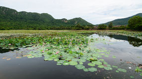 Lotus pond in Con Dao, Vietnam Royalty Free Stock Images