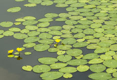 Lotus pond Royalty Free Stock Photos