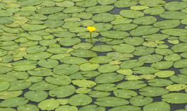 Lotus pond Stock Images
