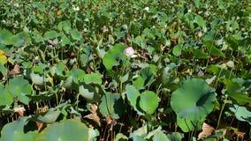 Lotus Pond escénica con las floraciones en Los Ángeles almacen de video