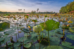 The Lotus pond in the evening light. Royalty Free Stock Photos