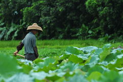 Lotus pond farmer Stock Photos