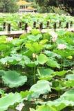 Lotus pond at garden Stock Photo