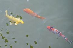 Lotus pond and golden fish Stock Photo