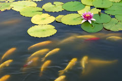 Lotus pond Stock Photography