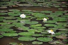 Lotus pond in Kuala Lumpur Lake Garden Royalty Free Stock Photography
