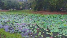 Lotus Pond At Kuantan, Malaysia. stock video footage